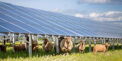Solcellspaneler på en äng med får