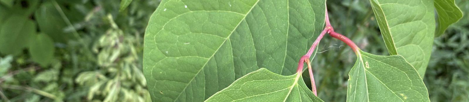 Växten Parkslide och dess blad